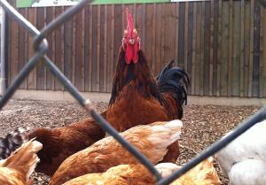 Abenteuerurlaub für Kinder mit Hühnern und Hahn